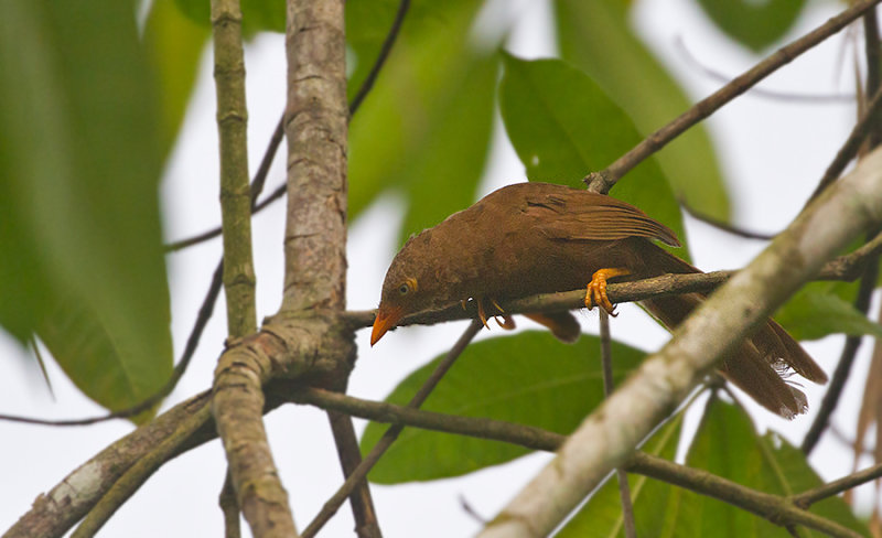 Orange-billed Babbler