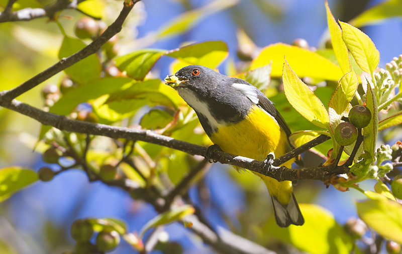 Yellow-bellied Flowerpecker at DI