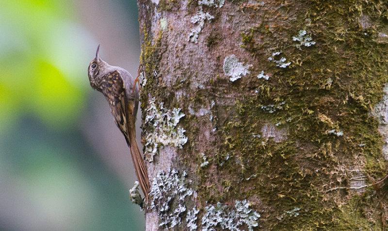 Humes Treecreeper at DI