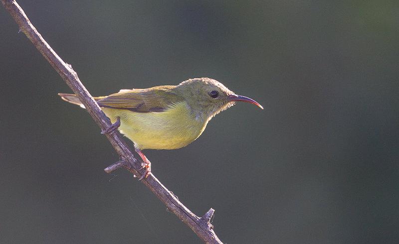 Mrs Goulds Sunbird, female