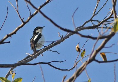 White-bellied Chat