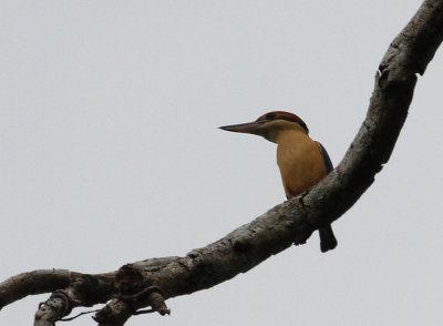 Cinnamon-bellied Kingfisher