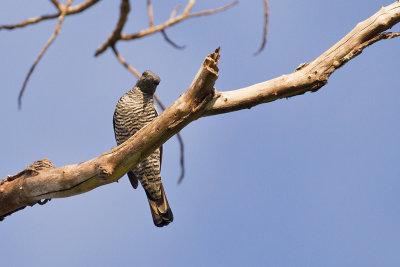 Pale-shouldered Cicadabird