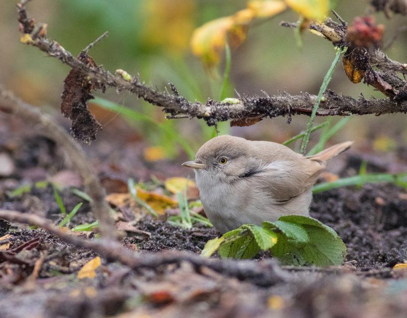 Asian desert warbler - Sylvia nana