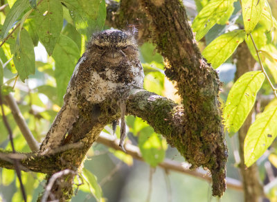 Hodgsons Frogmouth / Batrachostomus hodgsoni
