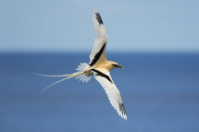 White-tailed Tropicbird_9061b2.jpg