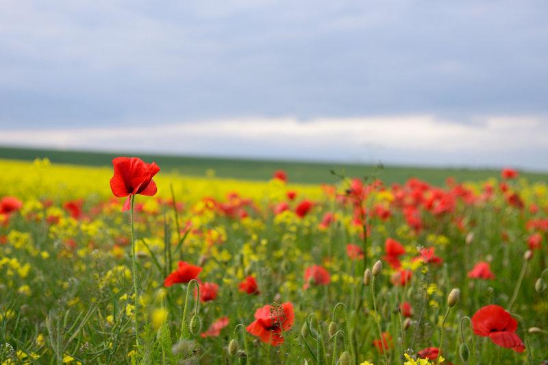 Poppies  13_d800_1211