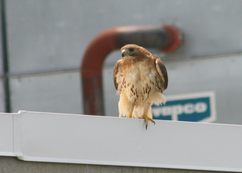 Red-tailed Hawk, female on roof near nest