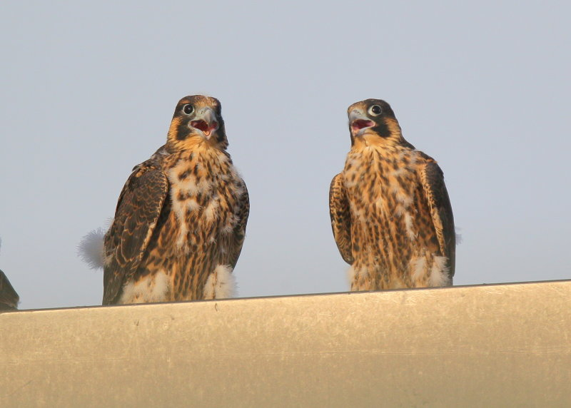 Peregrine chicks on a hot afternoon