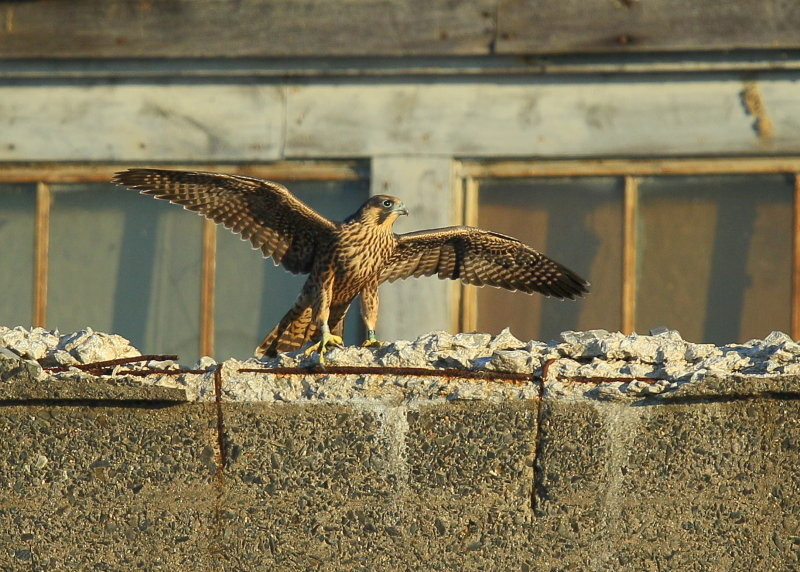 Peregrine fledgling on nearby rooftop; 93/AD legs bands