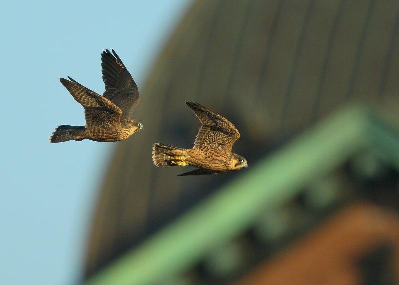 Peregrine fledlings first flight days