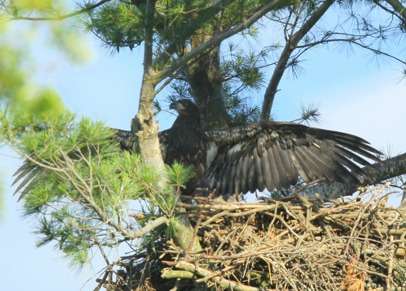 Bald Eaglet moving around the nest