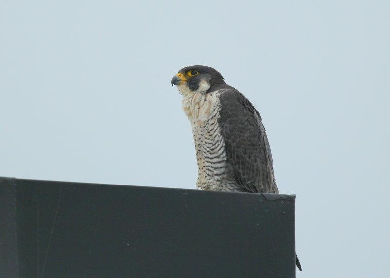 Peregrine Falcon, female