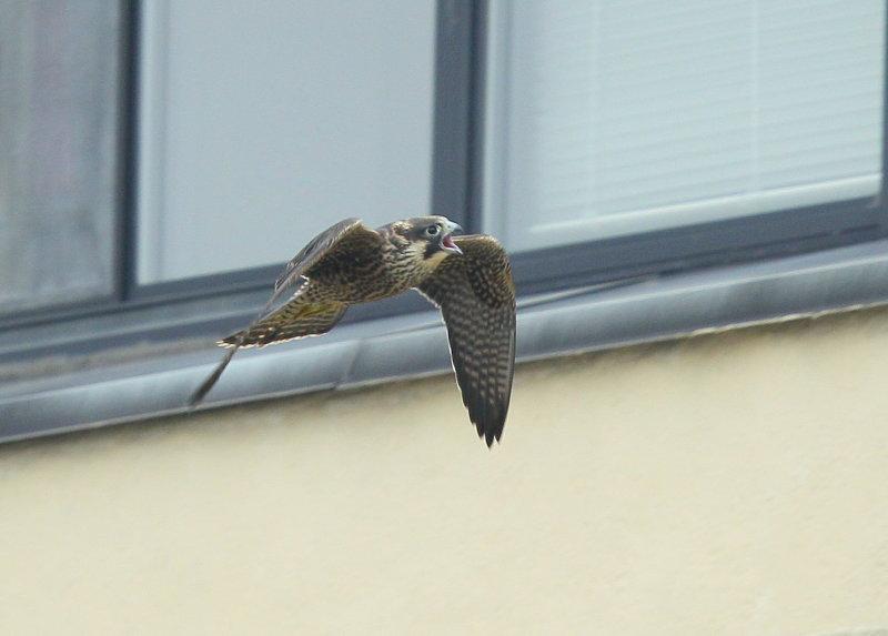 Peregrine Falcon, fledgling