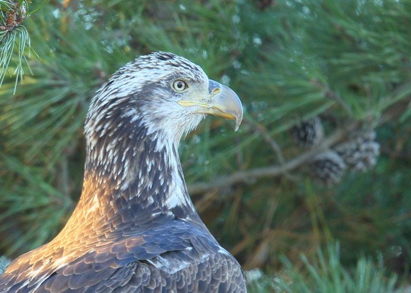 Bald Eagle, subadult, 3rd year