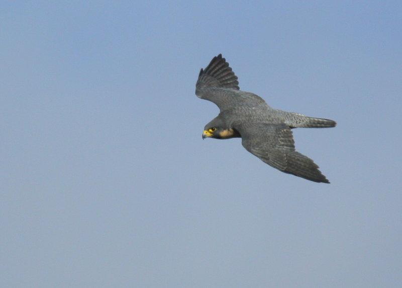 Peregrine Falcon, adult female in flight
