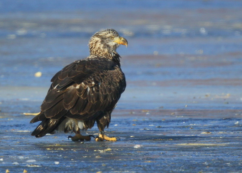 Bald Eagle, leg band P/7 (2.5 yrs old)