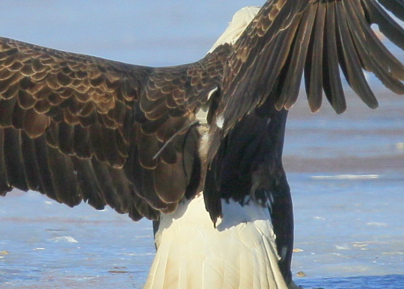 Bald Eagle, adult with transmitter and antenna