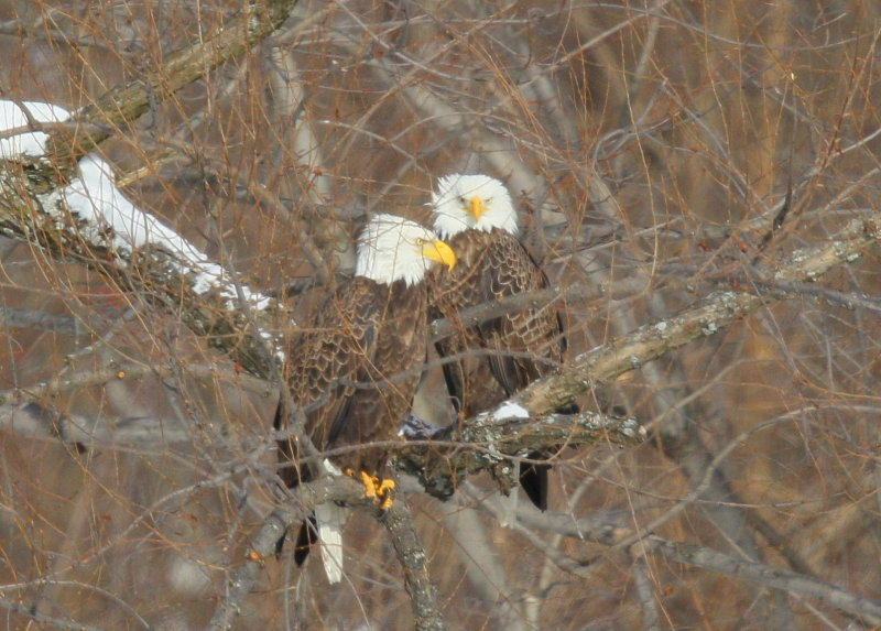 Bald Eagle, adult pair