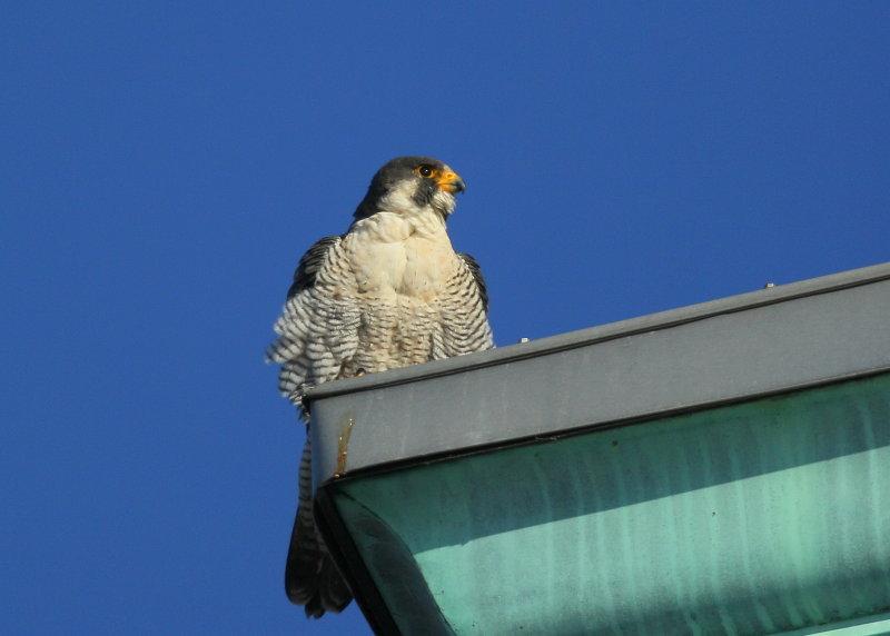 Peregrine Falcon, male
