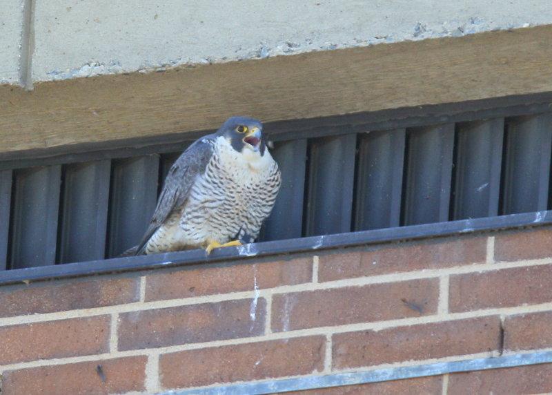 Peregrine Falcon, female calling the male