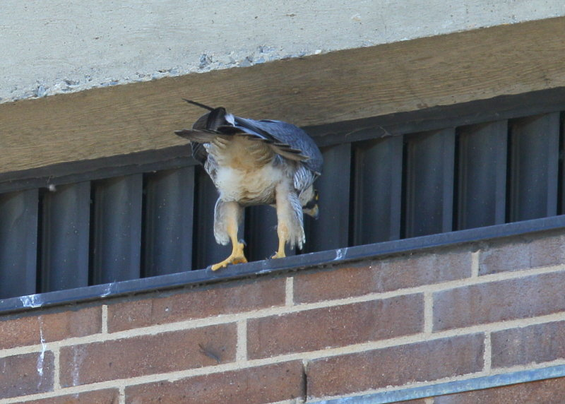 Peregrine Falcon, female with no leg bands