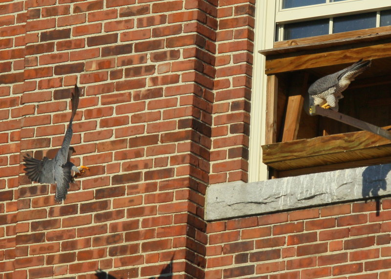 Peregrine Falcons, male arrives nest box