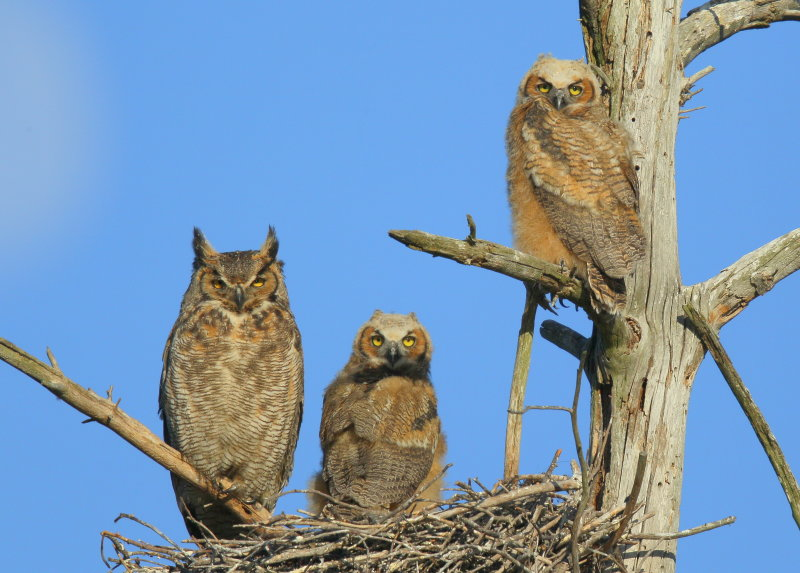 Great Horned Owl & Owlets starting to branch out!