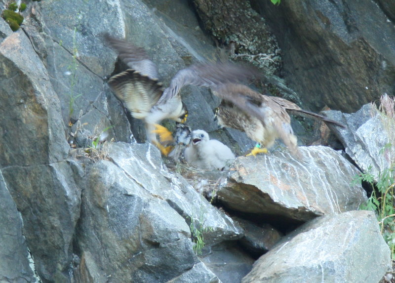 Peregrine Falcon chick ready for dinner!