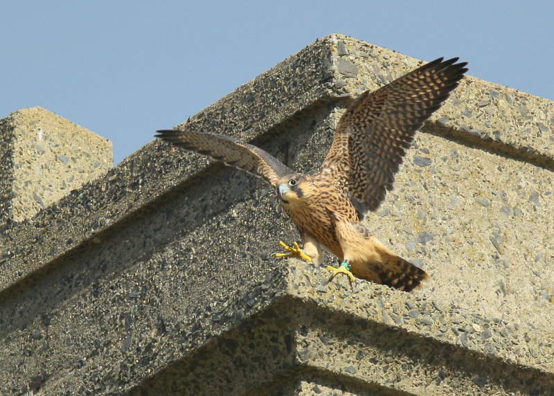 Peregrine Falcon fledgling flapping away (leg band 85/BS)