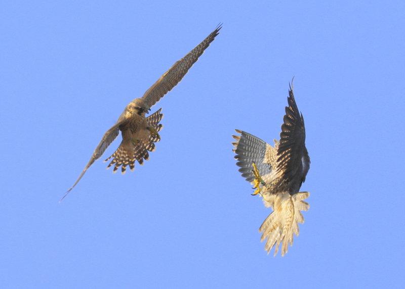 Peregrine Falcon fledglings in mock combat