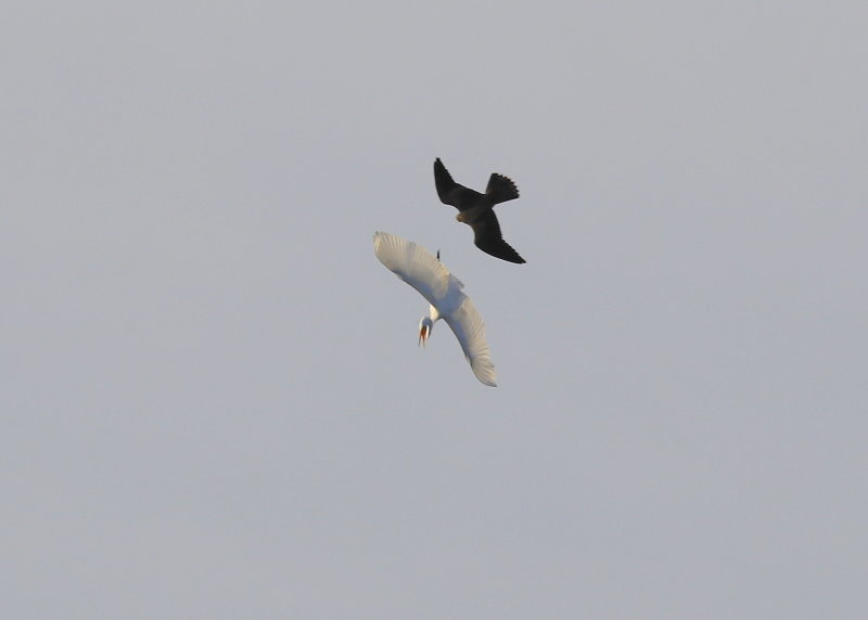 Peregrine Falcon fledgling in pursuit of Great Egret
