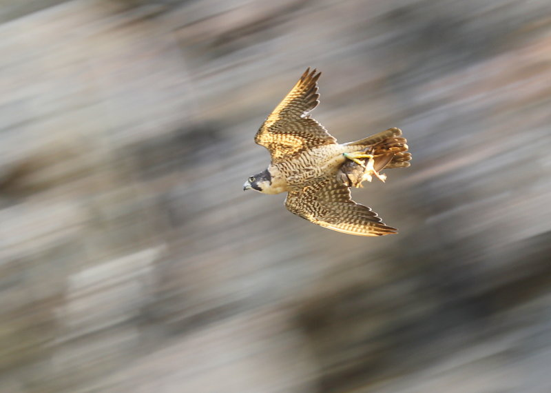 Peregrine Falcon female with prey for fledgling!