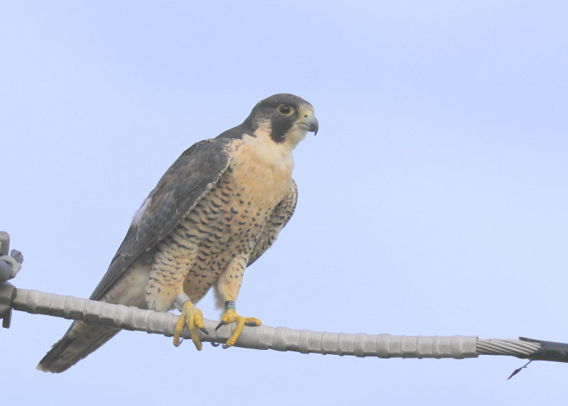 Peregrine Falcon, female, leg band (32/BC)