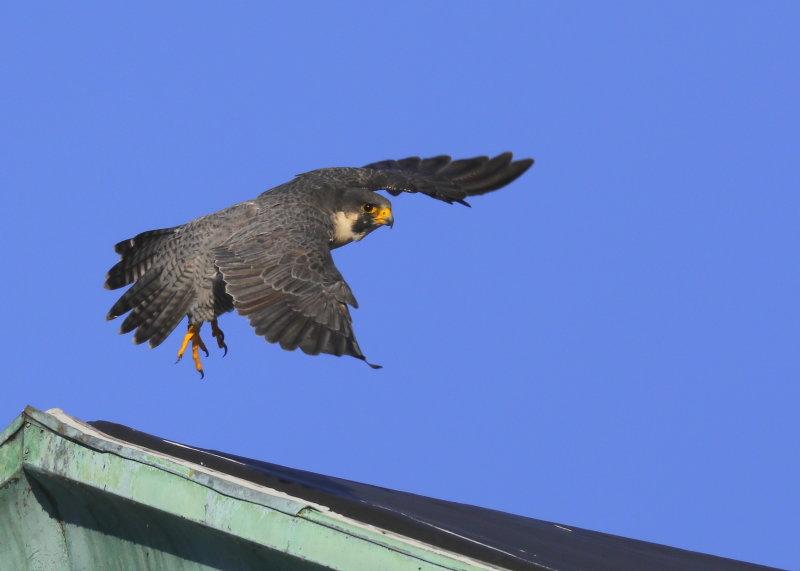 Peregrine Falcon, male: leg band 6/4