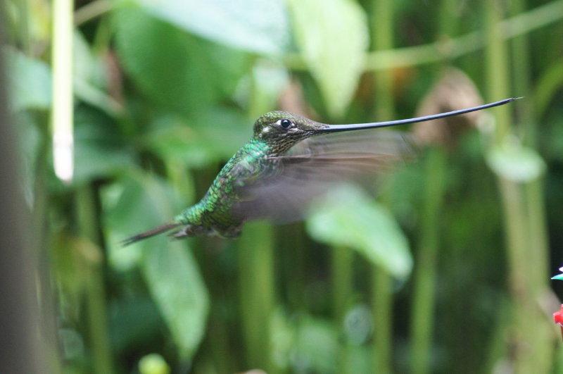 Sword-billedHummingbird3.jpg