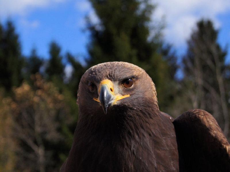 61. Golden Eagle juvenile.jpg