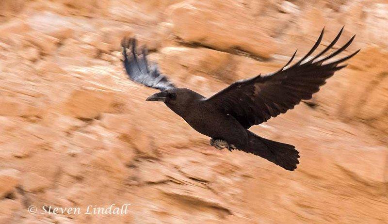 Brown Necked Raven