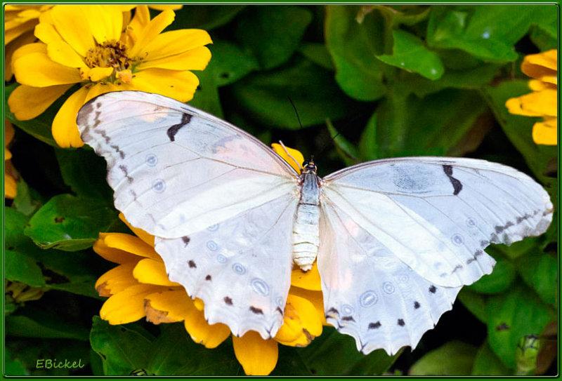 White Morpho