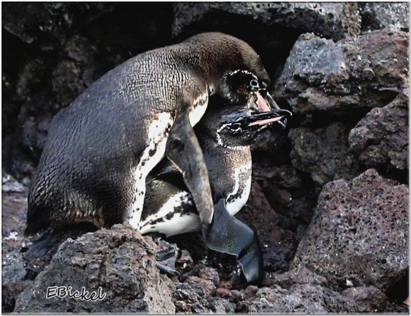 How Wild Baby Penguins are Made