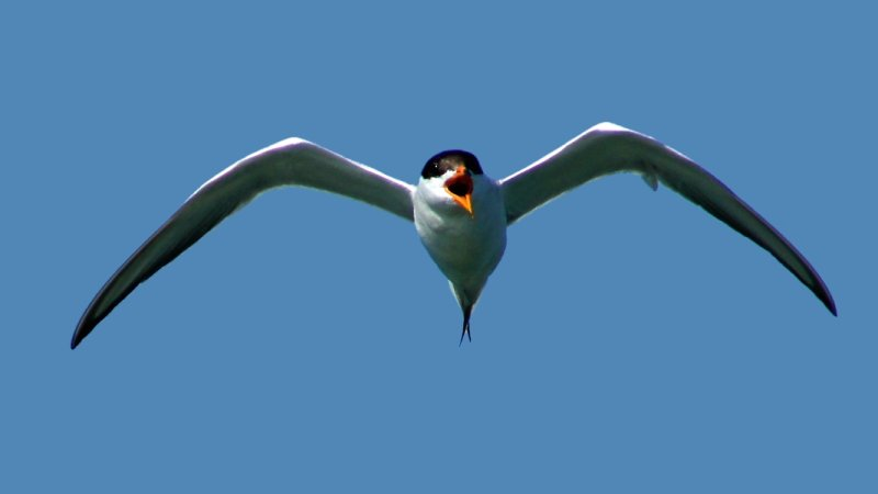Forsters Tern Mobbing Me