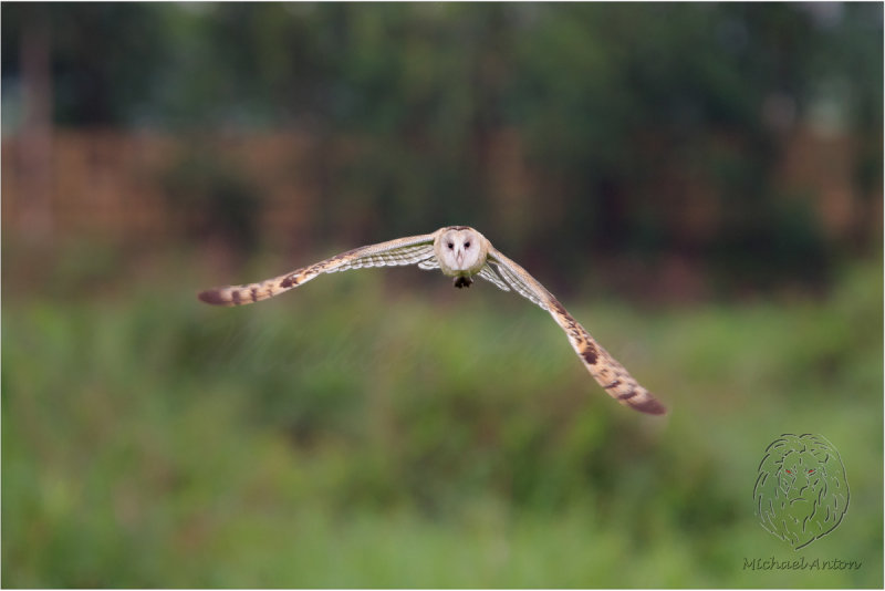 Australasian Grass Owl