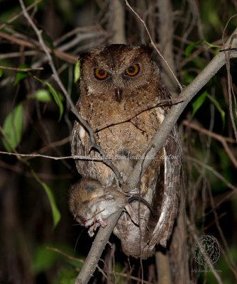 Owl, Philippine-Scops <i>(Otus megalotis)<i/>