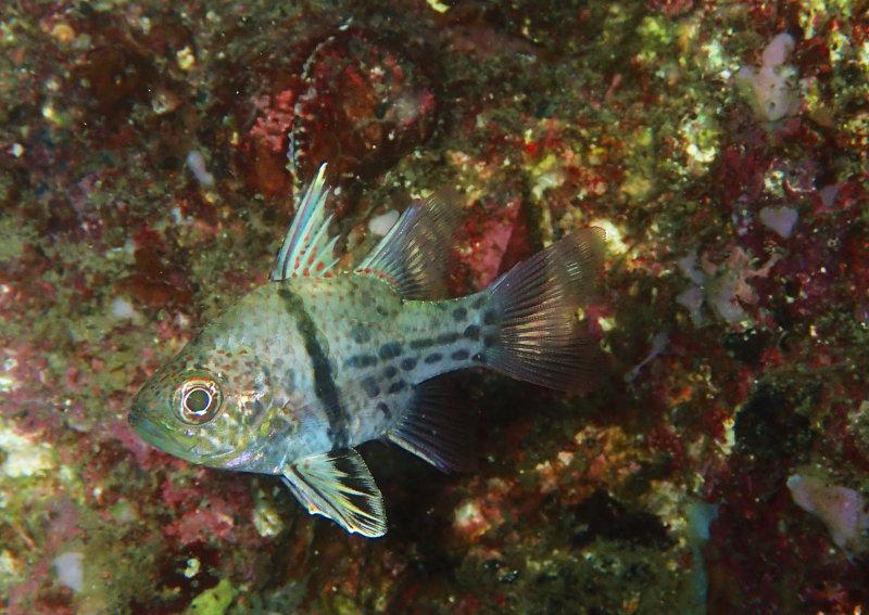 Orbicular Cardinalfish .jpg