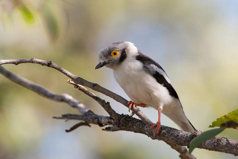 white-crested helmetshrike<br><i>(Prionops plumatus)</i>