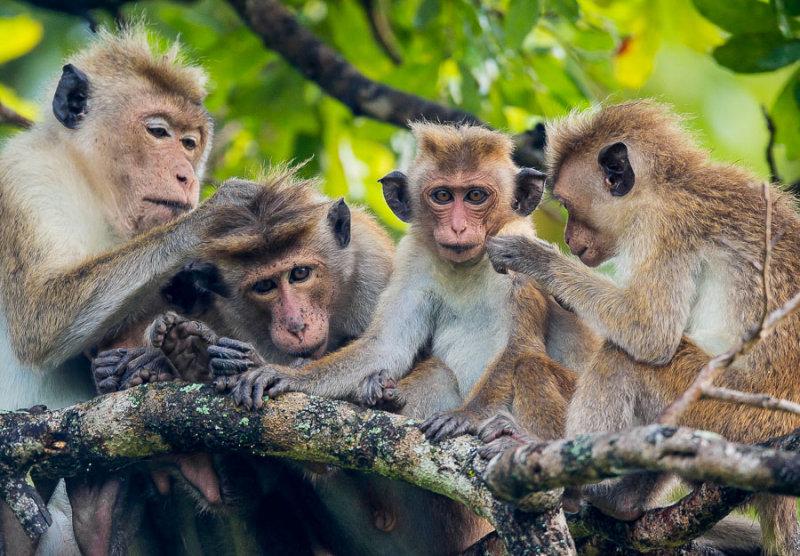 toque macaque<br><i>(Macaca sinica)</i>