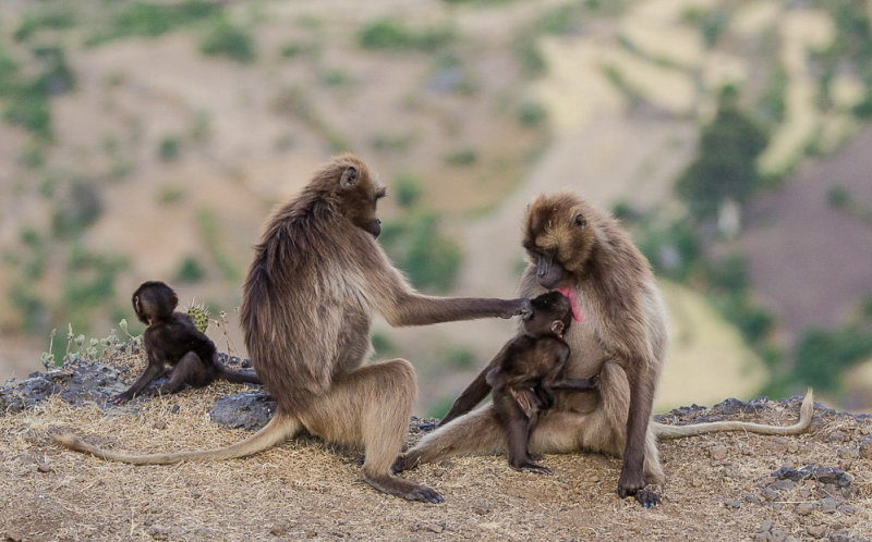 gelada family<br><i>(Theropithecus gelada)</i>