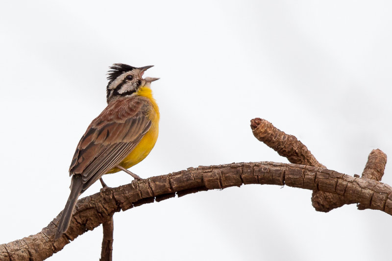 brown-rumped bunting<br><i>(Emberiza affinis)</i>