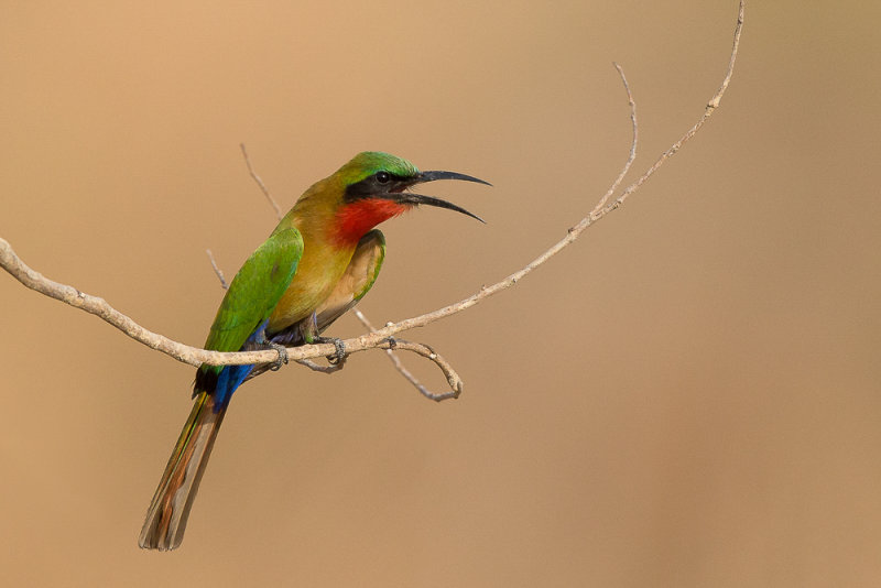 red-throated bee-eater<br><i>(Merops bulocki)</i>