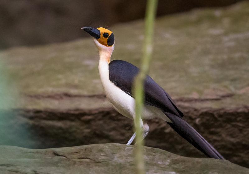 white-necked rockfowl<br><i>(Picathartes gymnocephalus)</i>